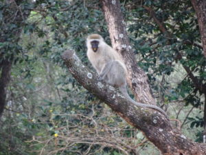 A vervet monkey in the parking lot