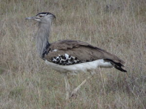 An Arabian bustard lurking in the grass