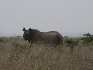A black rhinoceros (we also saw white rhinos, even farther away)