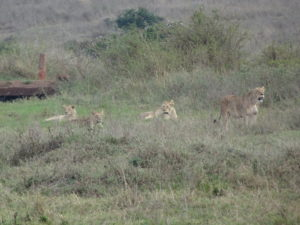 Four older cubs with a female lioness staring at the male from the previous photo