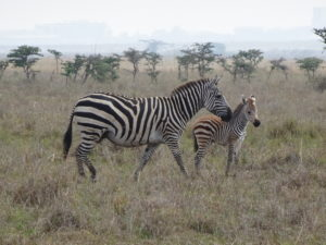A juvenile zebra and its mother
